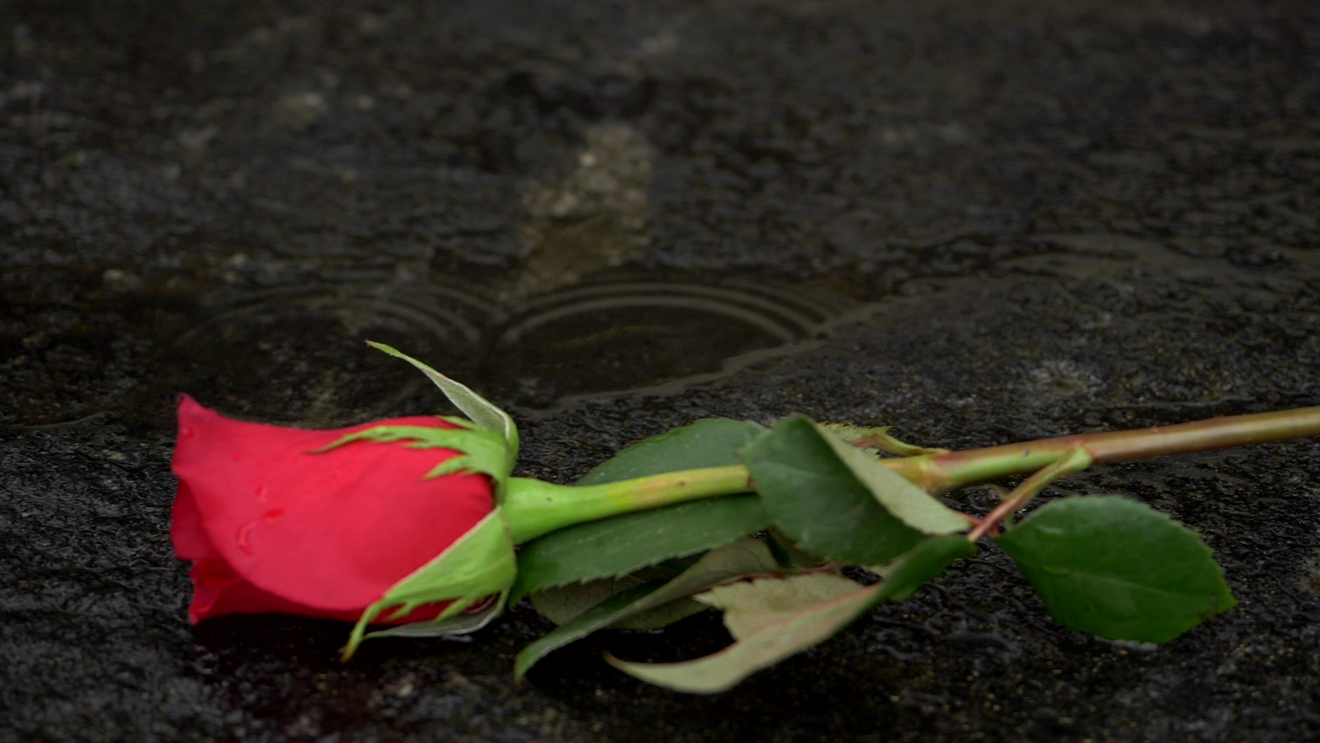 red rose with stem on a rock